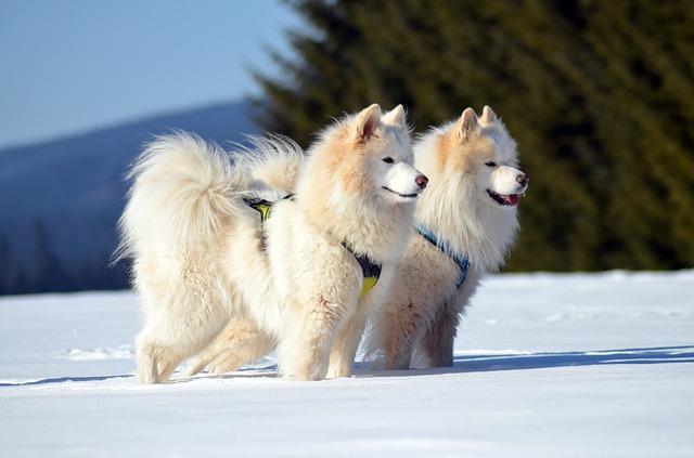 dva samojedi