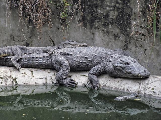 krokodýli u vody